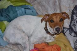 Elisa, chien Jack Russell Terrier