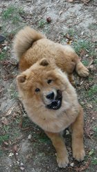 Elissa, chien Chow-Chow