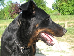 Elit Le Mâle, chien Beauceron