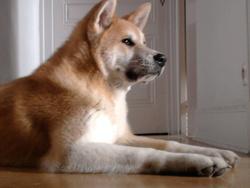 Elit, chien Akita Inu
