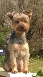 Élixir, chien Yorkshire Terrier