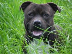 Elixyr, chien Staffordshire Bull Terrier