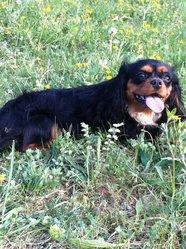 Eliya, chien Cavalier King Charles Spaniel