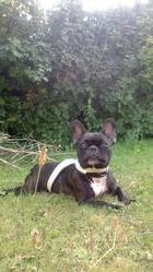 Elka , chien Bouledogue français