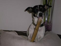 Elka, chien Jack Russell Terrier