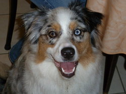 Elka, chien Berger australien