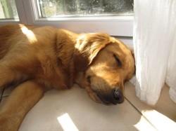 Elka, chien Golden Retriever