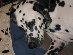 Elka, chien Dalmatien
