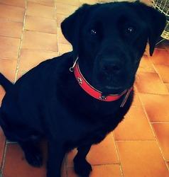 Elka, chien Labrador Retriever