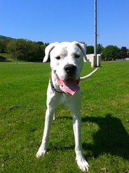 Elko, chien Dogue argentin