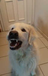 Elko, chien Golden Retriever