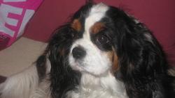Ella, chien Cavalier King Charles Spaniel