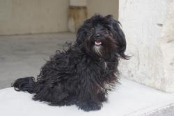 Ella, chien Bichon havanais
