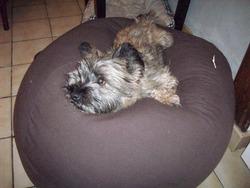 Ella, chien Cairn Terrier
