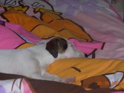 Ella, chien Jack Russell Terrier
