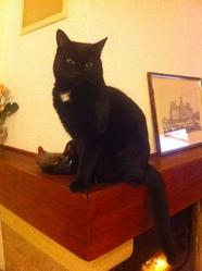Ella, chat Européen
