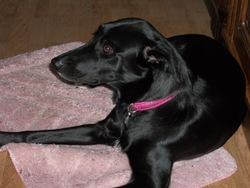 Ella, chien Labrador Retriever