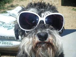 Ella, chien Schnauzer