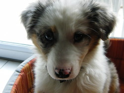 Ella, chien Berger australien
