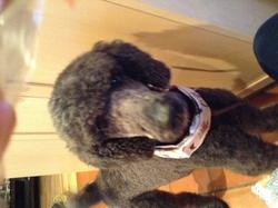 Ella, chien Caniche