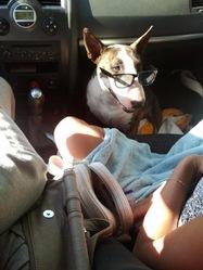 Elleia, chien Bull Terrier