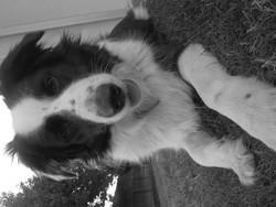 Ellie, chien Border Collie