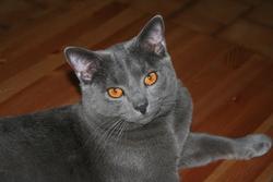 Ellios, chat Chartreux