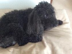 Elliot, chien Caniche