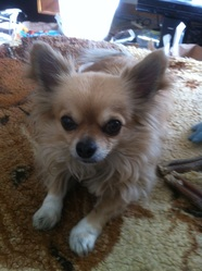 Elliot, chien Chihuahua