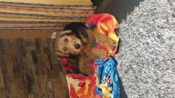 Elliot, chiot Airedale Terrier