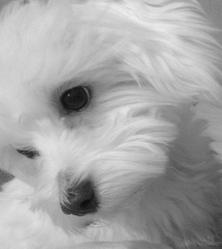 Elliot, chien Bichon maltais