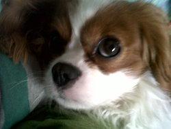 Elliot, chien Cavalier King Charles Spaniel