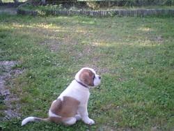 Elliot, chien Saint-Bernard