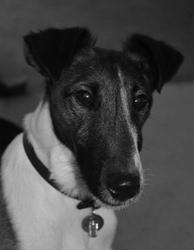 Elliot, chien Fox-Terrier