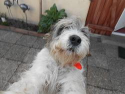 Elliot, chien Grand Griffon vendéen