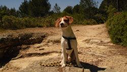 Elliot, chien Épagneul breton
