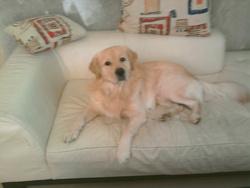 Elliot, chien Golden Retriever