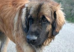 Elliot , chien Leonberger