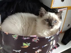 Elliot, chat Birman
