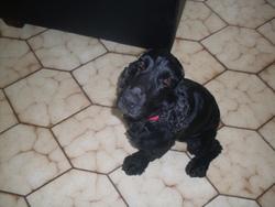 Elliot, chien Cocker anglais