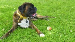 Elliot Ernest, chien Boxer