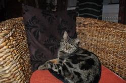 Elliote, chat Européen