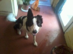 Ellioth, chien Border Collie