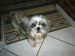 Elliott, chien Shih Tzu