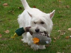 Elliott, chien West Highland White Terrier