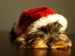Elliott, chien Cairn Terrier