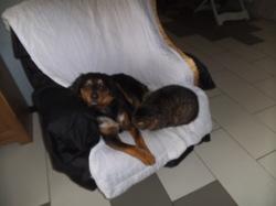 Ellis, chien Chien de berger de Majorque
