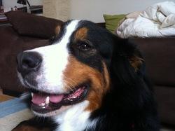Elly, chien Bouvier bernois