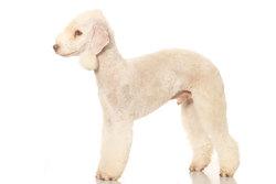 Elly, chien Bedlington Terrier