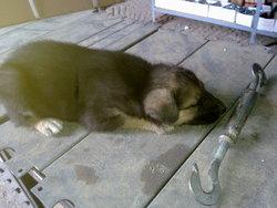 Léo, chien Berger allemand